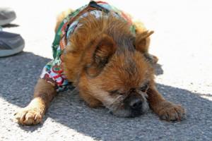 Cutest Pet - Guido a former TSAS  Pet, Owner Sheila Dahoney